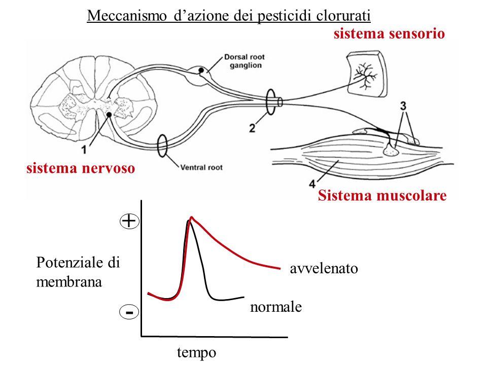 Meccanismo dazione dei pesticidi clorurati sistema nervoso sistema sensorio Sistema muscolare Potenziale di membrana tempo - + normale avvelenato