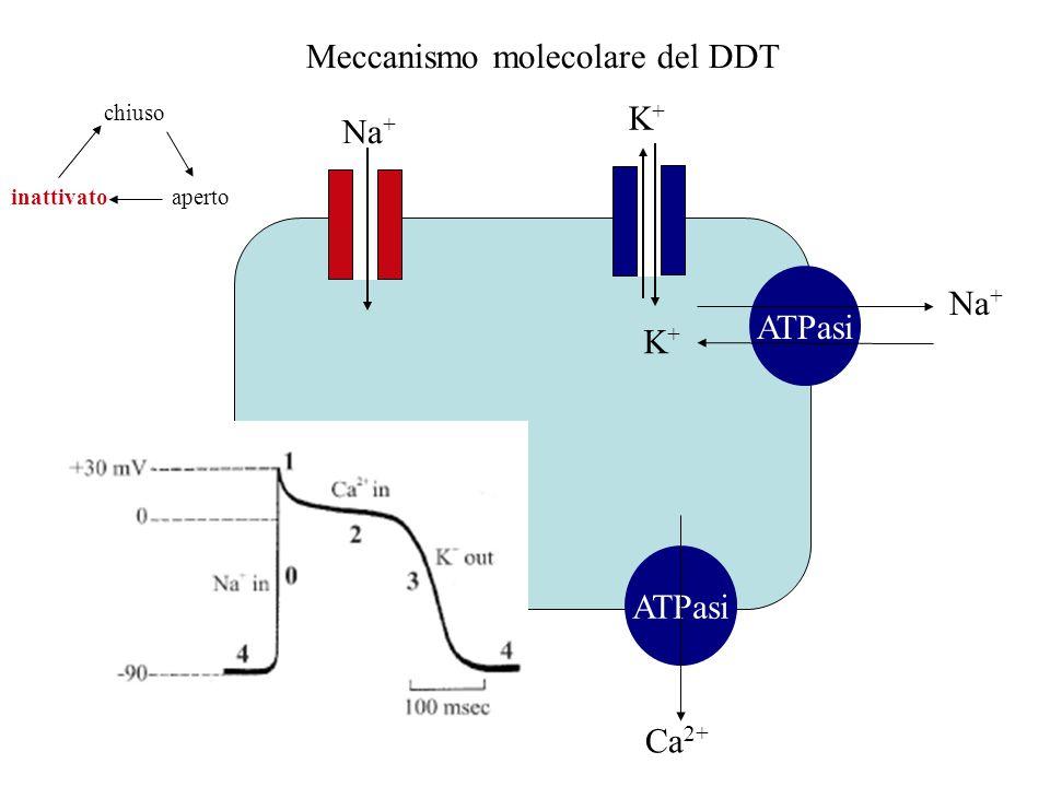 Meccanismo molecolare del DDT Na + ATPasi Ca 2+ Na + K+K+ K+K+ aperto chiuso inattivato