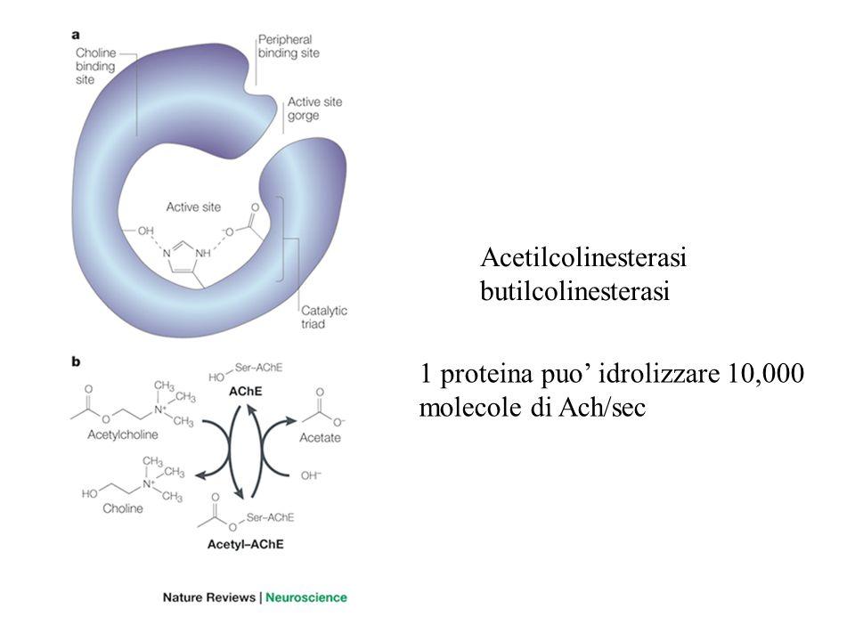 Acetilcolinesterasi butilcolinesterasi 1 proteina puo idrolizzare 10,000 molecole di Ach/sec