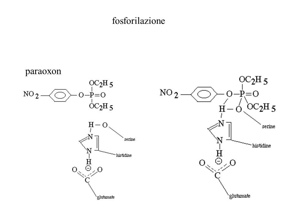 paraoxon fosforilazione