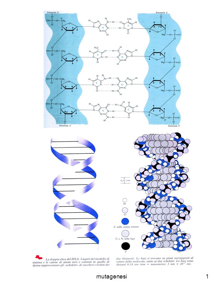 mutagenesi1