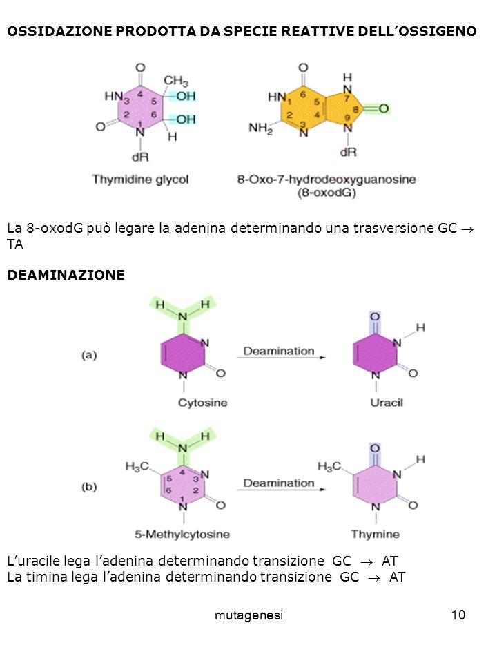 mutagenesi10 OSSIDAZIONE PRODOTTA DA SPECIE REATTIVE DELLOSSIGENO La 8-oxodG può legare la adenina determinando una trasversione GC TA DEAMINAZIONE Luracile lega ladenina determinando transizione GC AT La timina lega ladenina determinando transizione GC AT