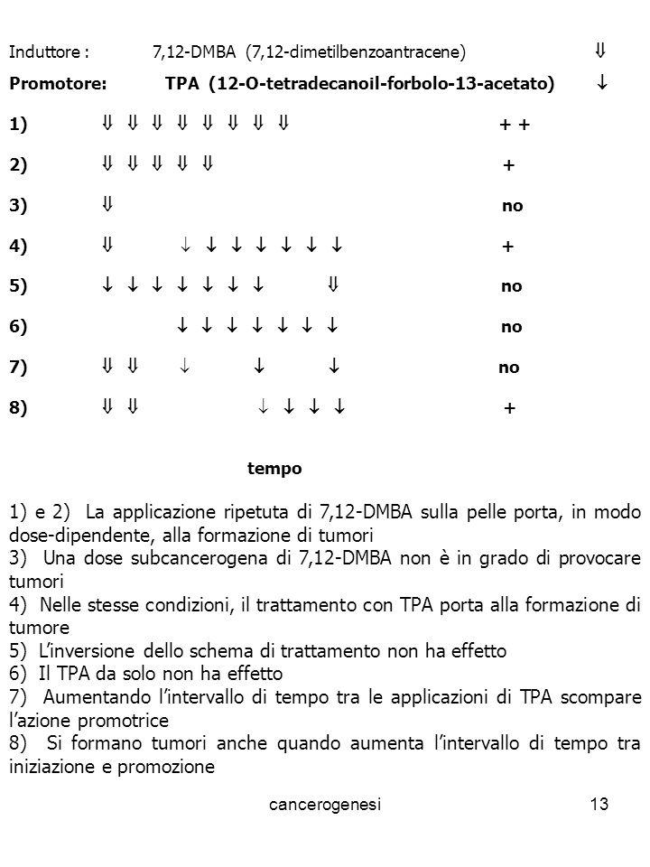 cancerogenesi13 Induttore : 7,12-DMBA (7,12-dimetilbenzoantracene) Promotore: TPA (12-O-tetradecanoil-forbolo-13-acetato) 1) + + 2) + 3) no 4) + 5) no 6) no 7) no 8) + tempo 1) e 2) La applicazione ripetuta di 7,12-DMBA sulla pelle porta, in modo dose-dipendente, alla formazione di tumori 3) Una dose subcancerogena di 7,12-DMBA non è in grado di provocare tumori 4) Nelle stesse condizioni, il trattamento con TPA porta alla formazione di tumore 5) Linversione dello schema di trattamento non ha effetto 6) Il TPA da solo non ha effetto 7) Aumentando lintervallo di tempo tra le applicazioni di TPA scompare lazione promotrice 8) Si formano tumori anche quando aumenta lintervallo di tempo tra iniziazione e promozione
