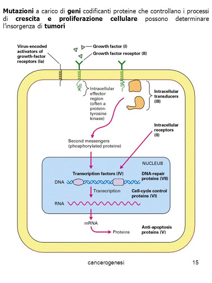 cancerogenesi15 Mutazioni a carico di geni codificanti proteine che controllano i processi di crescita e proliferazione cellulare possono determinare linsorgenza di tumori