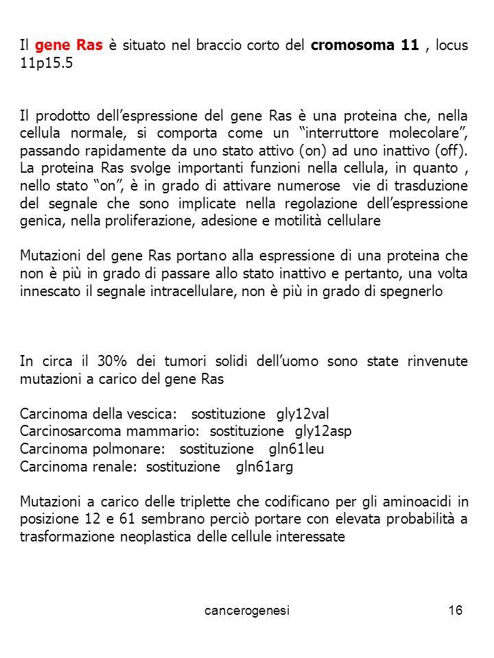 cancerogenesi16 Il gene Ras è situato nel braccio corto del cromosoma 11, locus 11p15.5 Il prodotto dellespressione del gene Ras è una proteina che, nella cellula normale, si comporta come un interruttore molecolare, passando rapidamente da uno stato attivo (on) ad uno inattivo (off).