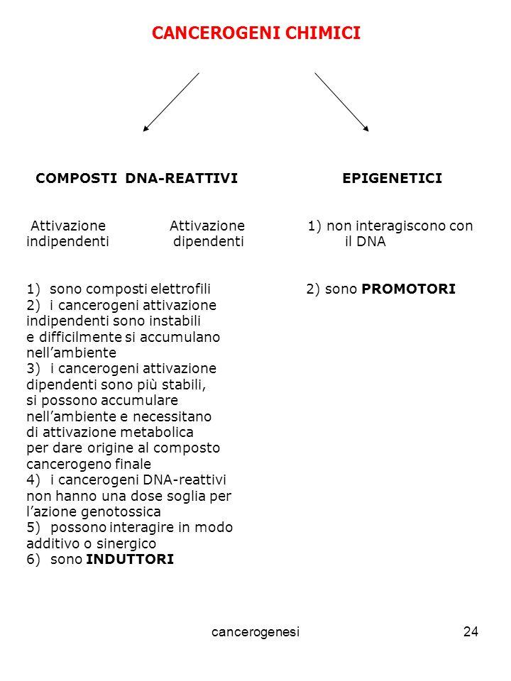 cancerogenesi24 CANCEROGENI CHIMICI COMPOSTI DNA-REATTIVI EPIGENETICI Attivazione Attivazione 1) non interagiscono con indipendenti dipendenti il DNA 1) sono composti elettrofili 2) sono PROMOTORI 2) i cancerogeni attivazione indipendenti sono instabili e difficilmente si accumulano nellambiente 3) i cancerogeni attivazione dipendenti sono più stabili, si possono accumulare nellambiente e necessitano di attivazione metabolica per dare origine al composto cancerogeno finale 4) i cancerogeni DNA-reattivi non hanno una dose soglia per lazione genotossica 5) possono interagire in modo additivo o sinergico 6) sono INDUTTORI