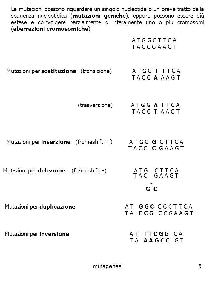 mutagenesi3 Le mutazioni possono riguardare un singolo nucleotide o un breve tratto della sequenza nucleotidica (mutazioni geniche), oppure possono essere più estese e coinvolgere parzialmente o interamente uno o più cromosomi (aberrazioni cromosomiche) A T G G C T T C A T A C C G A A G T Mutazioni per sostituzione (transizione) A T G G T T T C A T A C C A A A G T (trasversione) A T G G A T T C A T A C C T A A G T Mutazioni per inserzione (frameshift +) A T G G G C T T C A T A C C C G A A G T Mutazioni per delezione (frameshift -) A T G C T T C A T A C G A A G T G C Mutazioni per duplicazione A T G G C G G C T T C A T A C C G C C G A A G T Mutazioni per inversione A T T T C G G C A T A A A G C C G T