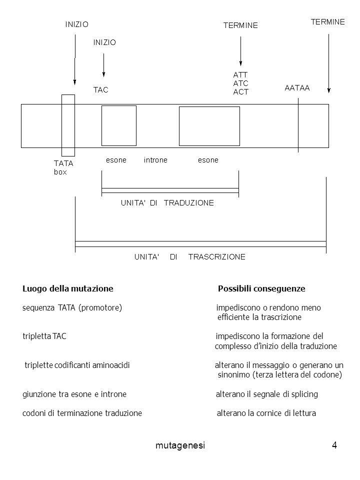 mutagenesi4 Luogo della mutazione Possibili conseguenze sequenza TATA (promotore) impediscono o rendono meno efficiente la trascrizione tripletta TAC impediscono la formazione del complesso dinizio della traduzione triplette codificanti aminoacidi alterano il messaggio o generano un sinonimo (terza lettera del codone) giunzione tra esone e introne alterano il segnale di splicing codoni di terminazione traduzione alterano la cornice di lettura