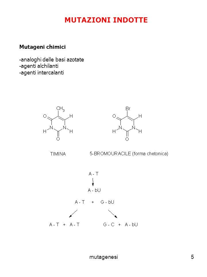 mutagenesi5 MUTAZIONI INDOTTE Mutageni chimici - analoghi delle basi azotate - agenti alchilanti - agenti intercalanti