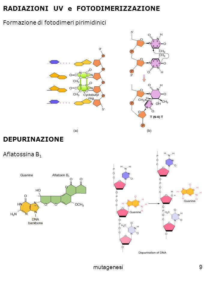 mutagenesi9 RADIAZIONI UV e FOTODIMERIZZAZIONE Formazione di fotodimeri pirimidinici DEPURINAZIONE Aflatossina B 1