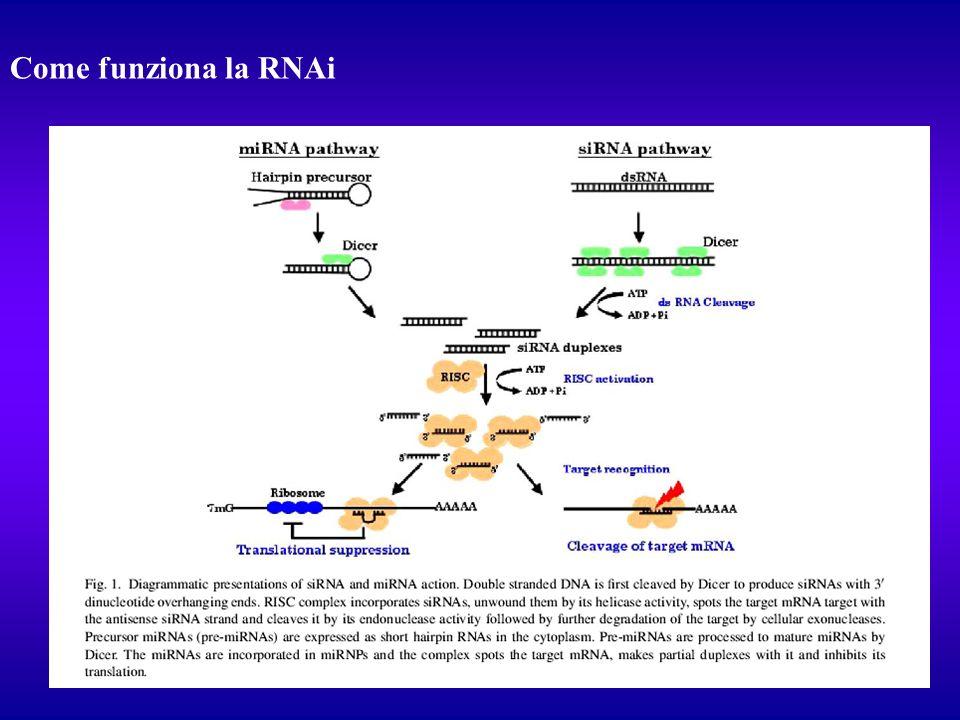Come funziona la RNAi