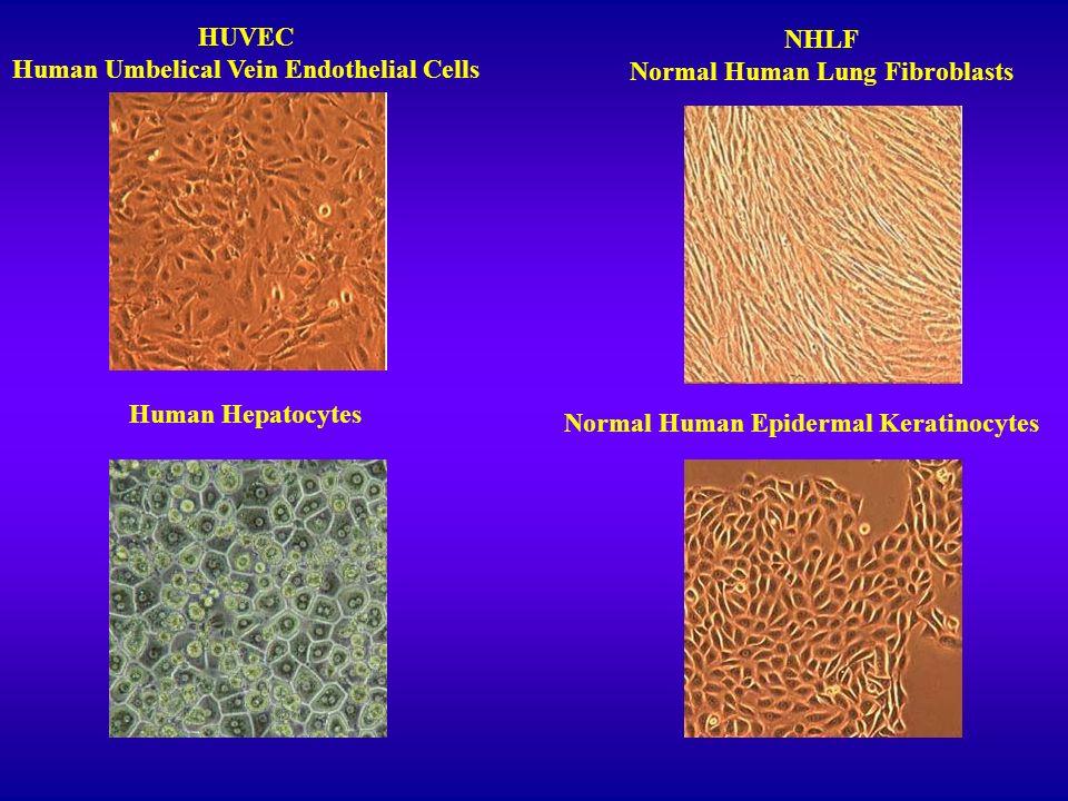 HUVEC Human Umbelical Vein Endothelial Cells NHLF Normal Human Lung Fibroblasts Human Hepatocytes Normal Human Epidermal Keratinocytes