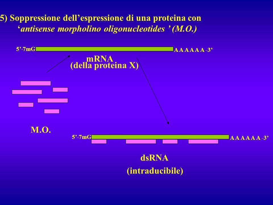 5) Soppressione dellespressione di una proteina con antisense morpholino oligonucleotides (M.O.) A A A A A A -3 7mG5- M.O. mRNA A A A A A A -3 7mG5- d
