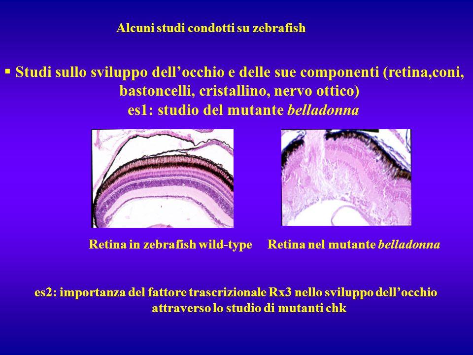 Alcuni studi condotti su zebrafish Studi sullo sviluppo dellocchio e delle sue componenti (retina,coni, bastoncelli, cristallino, nervo ottico) es1: s