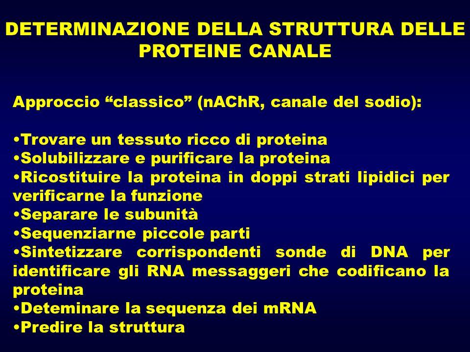 DETERMINAZIONE DELLA STRUTTURA DELLE PROTEINE CANALE Approccio classico (nAChR, canale del sodio): Trovare un tessuto ricco di proteina Solubilizzare e purificare la proteina Ricostituire la proteina in doppi strati lipidici per verificarne la funzione Separare le subunità Sequenziarne piccole parti Sintetizzare corrispondenti sonde di DNA per identificare gli RNA messaggeri che codificano la proteina Deteminare la sequenza dei mRNA Predire la struttura