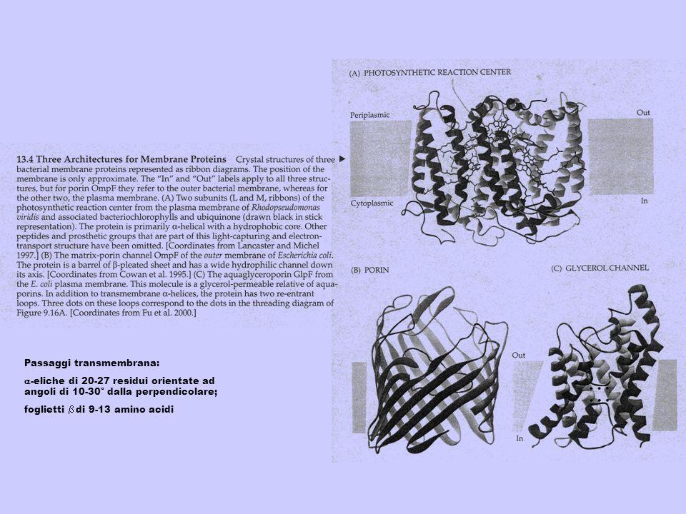 Passaggi transmembrana: -eliche di 20-27 residui orientate ad angoli di 10-30° dalla perpendicolare; foglietti di 9-13 amino acidi