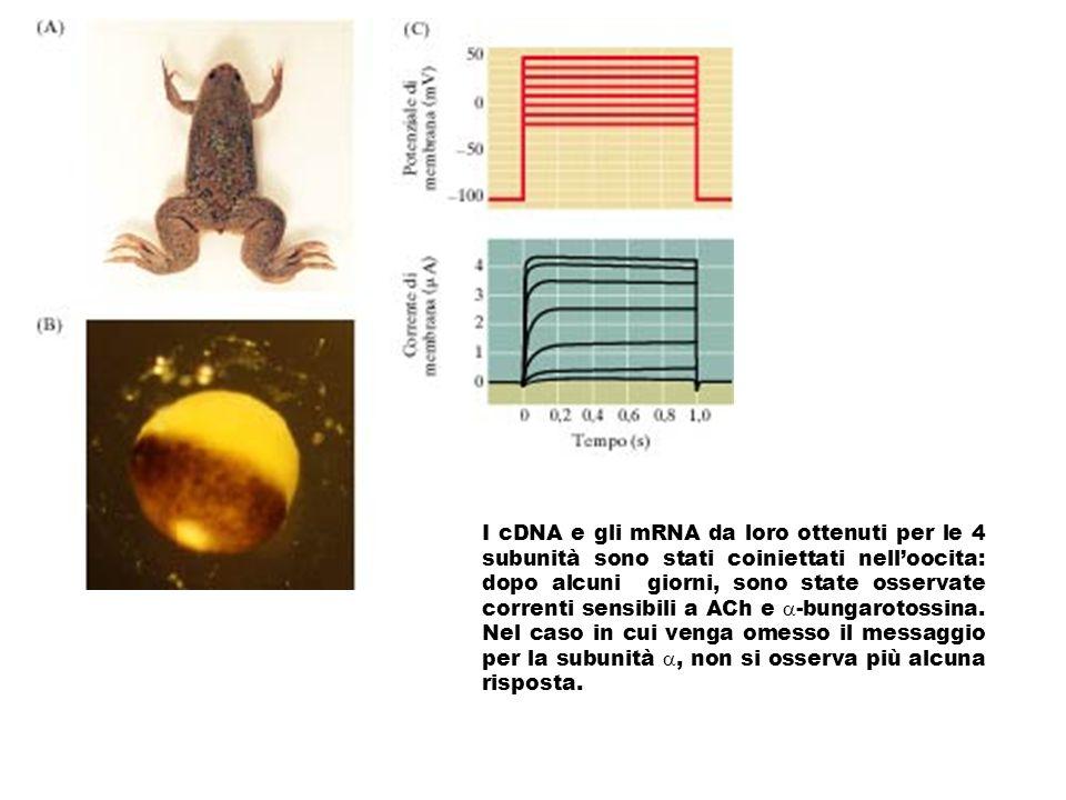 I cDNA e gli mRNA da loro ottenuti per le 4 subunità sono stati coiniettati nelloocita: dopo alcuni giorni, sono state osservate correnti sensibili a ACh e -bungarotossina.
