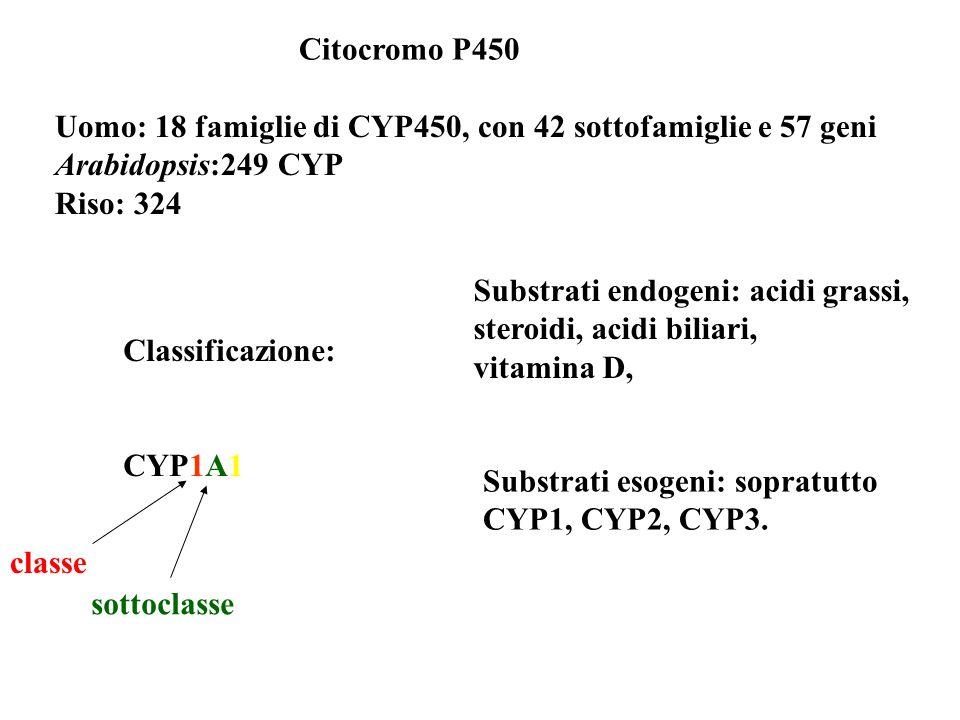 Citocromo P450 Uomo: 18 famiglie di CYP450, con 42 sottofamiglie e 57 geni Arabidopsis:249 CYP Riso: 324 Classificazione: CYP1A1 classe sottoclasse Su
