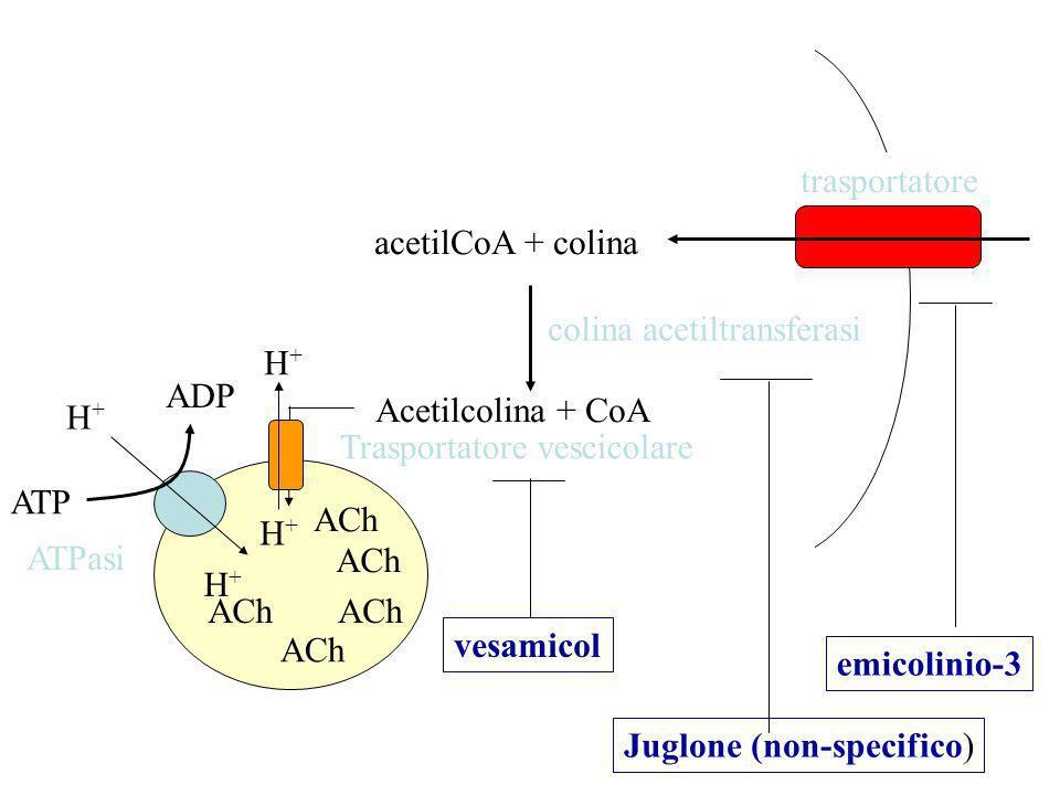 acetilCoA + colina Acetilcolina + CoA colina acetiltransferasi trasportatore ACh Trasportatore vescicolare H+H+ ADP ATP H+H+ H+H+ H+H+ ATPasi emicolinio-3 Juglone (non-specifico) vesamicol