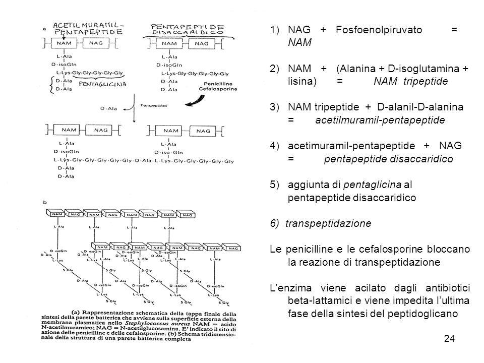 24 1)NAG + Fosfoenolpiruvato = NAM 2)NAM + (Alanina + D-isoglutamina + lisina) = NAM tripeptide 3)NAM tripeptide + D-alanil-D-alanina = acetilmuramil-