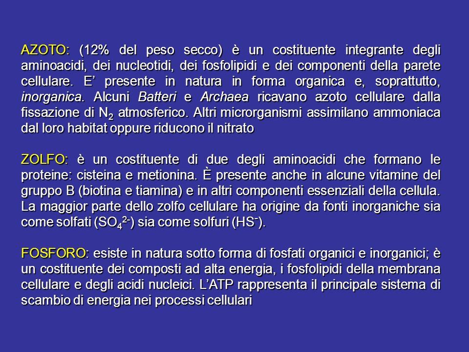 AZOTO: (12% del peso secco) è un costituente integrante degli aminoacidi, dei nucleotidi, dei fosfolipidi e dei componenti della parete cellulare. E p