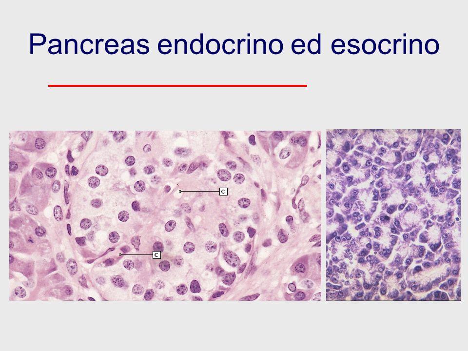 Pancreas endocrino ed esocrino