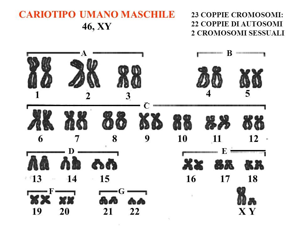 CARIOTIPO UMANO MASCHILE 46, XY 23 COPPIE CROMOSOMI: 22 COPPIE DI AUTOSOMI 2 CROMOSOMI SESSUALI 1 23 45 6789101112 131415161718 19202122XY GF ED C AB