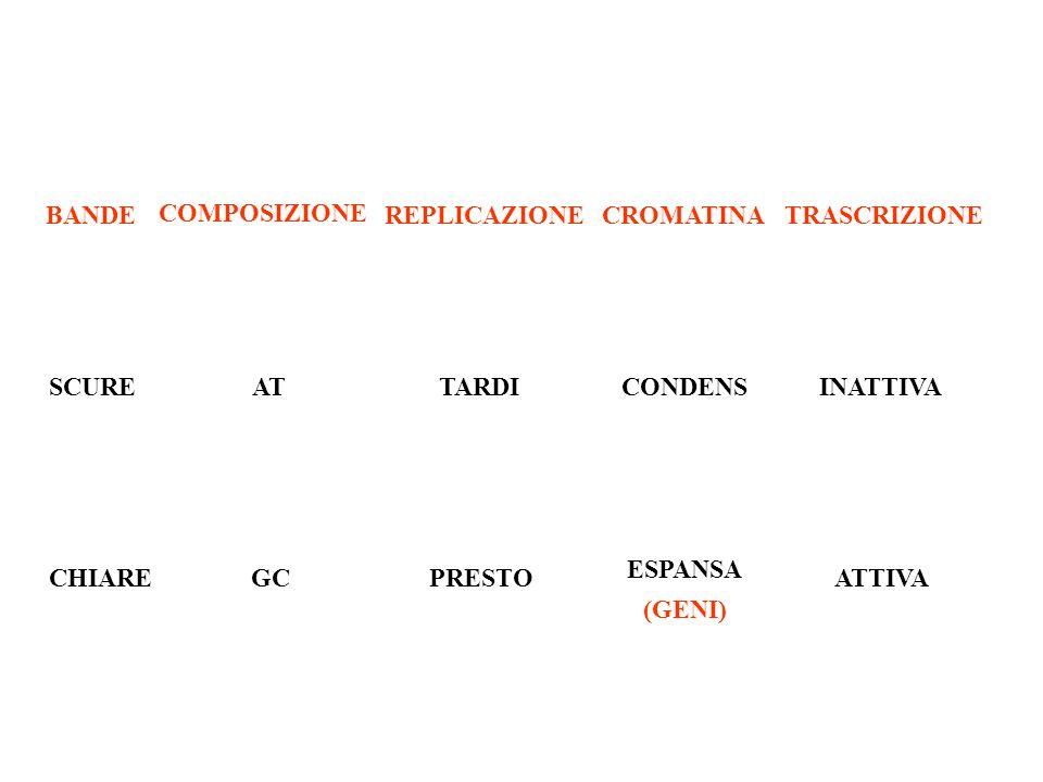 BANDE COMPOSIZIONE REPLICAZIONECROMATINATRASCRIZIONE SCURE CHIARE AT GC TARDI PRESTO CONDENS ESPANSA (GENI) INATTIVA ATTIVA