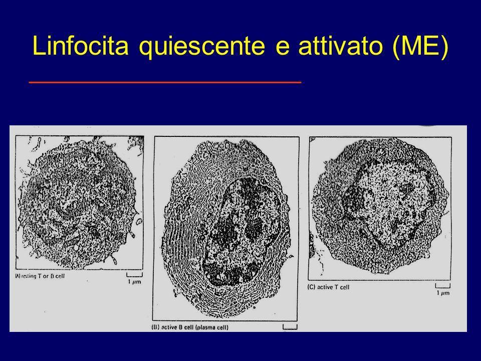 Marcatori di superficie dei linfociti B e T