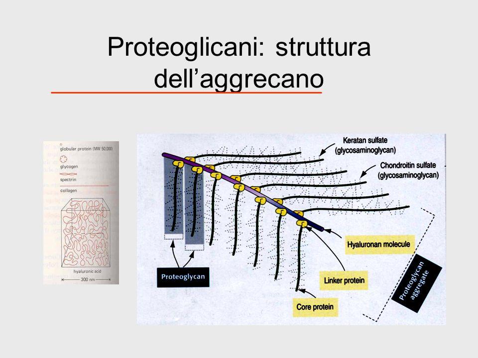 Proteoglicani: struttura dellaggrecano