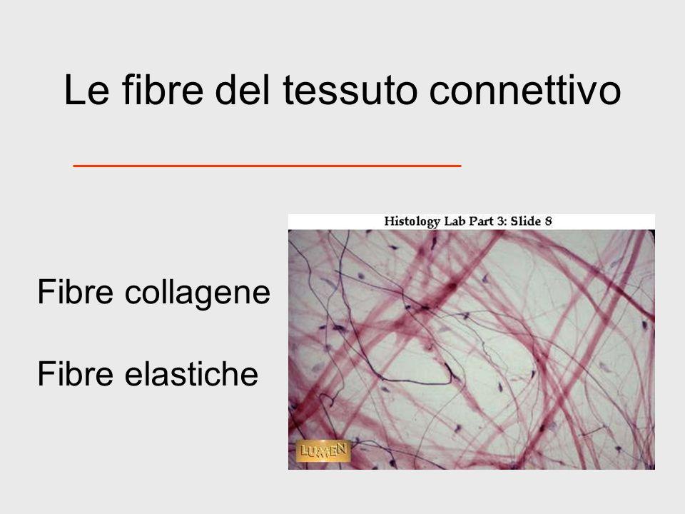 Le fibre del tessuto connettivo Fibre collagene Fibre elastiche