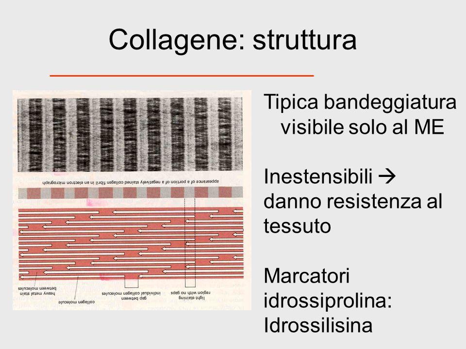 Collagene: struttura Tipica bandeggiatura visibile solo al ME Inestensibili danno resistenza al tessuto Marcatori idrossiprolina: Idrossilisina