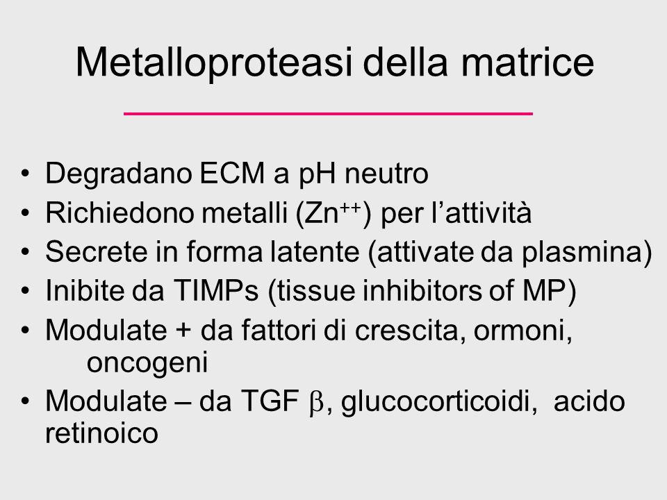 Metalloproteasi della matrice Degradano ECM a pH neutro Richiedono metalli (Zn ++ ) per lattività Secrete in forma latente (attivate da plasmina) Inib