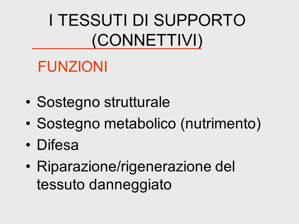 I TESSUTI DI SUPPORTO (CONNETTIVI) Sostegno strutturale Sostegno metabolico (nutrimento) Difesa Riparazione/rigenerazione del tessuto danneggiato FUNZ