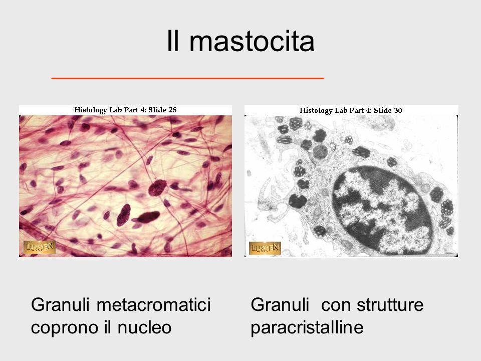 Il mastocita Granuli metacromatici coprono il nucleo Granuli con strutture paracristalline