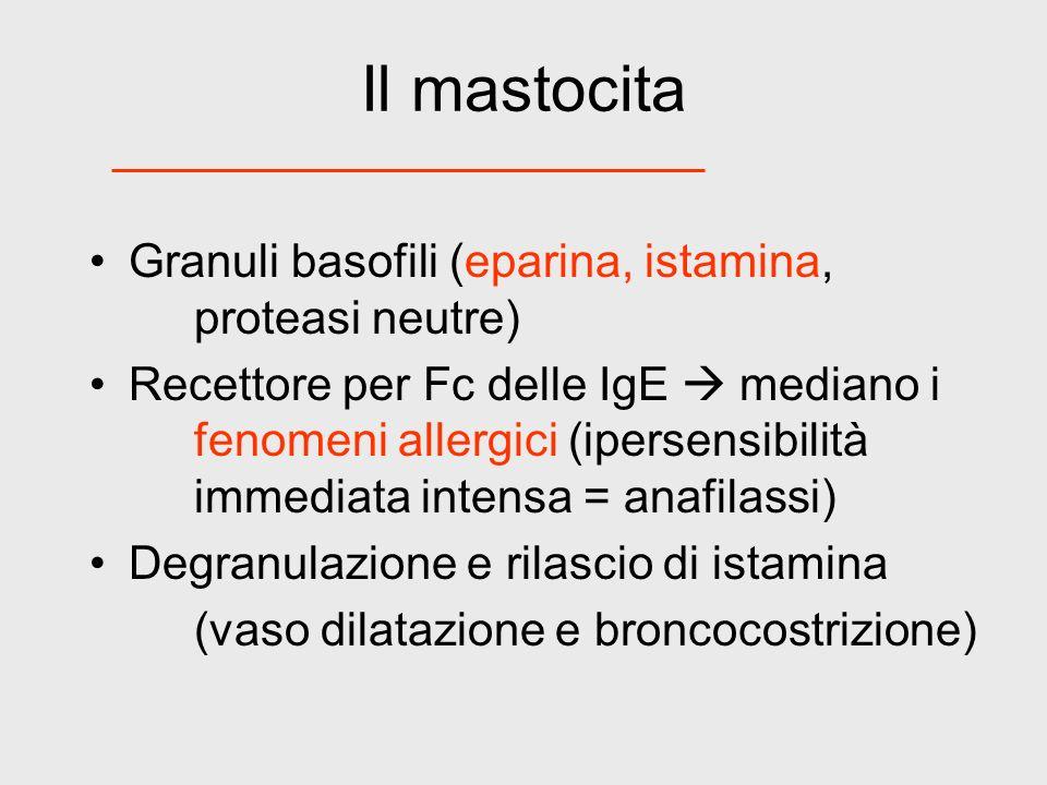Il mastocita Granuli basofili (eparina, istamina, proteasi neutre) Recettore per Fc delle IgE mediano i fenomeni allergici (ipersensibilità immediata