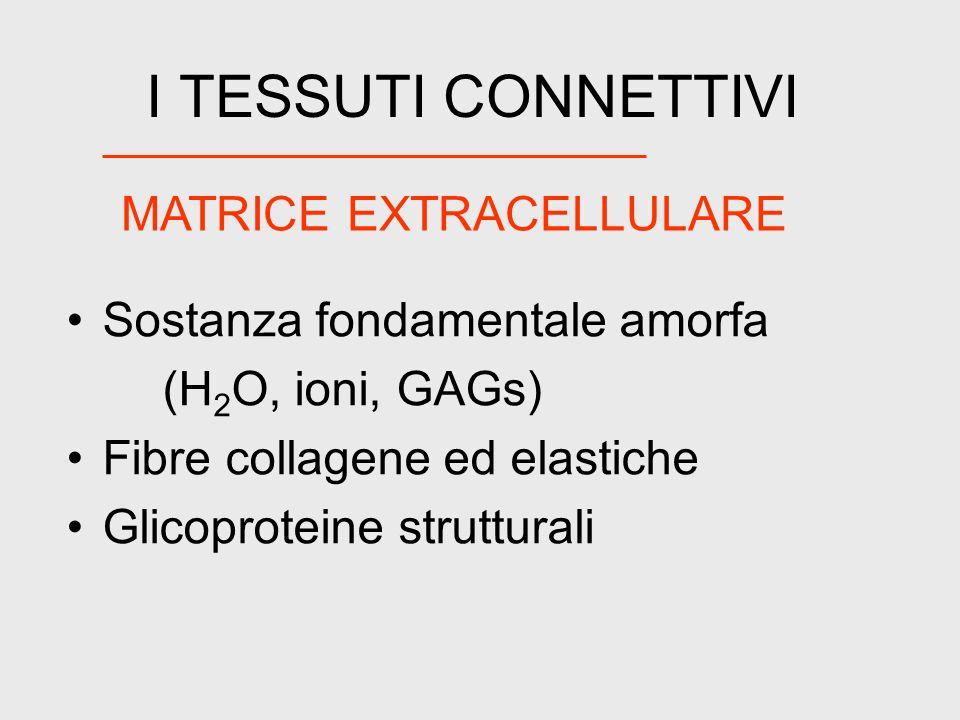 I TESSUTI CONNETTIVI Sostanza fondamentale amorfa (H 2 O, ioni, GAGs) Fibre collagene ed elastiche Glicoproteine strutturali MATRICE EXTRACELLULARE