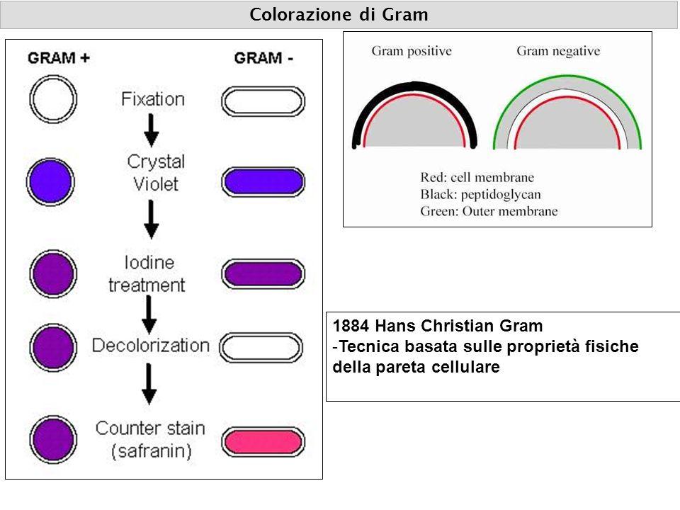 Colorazione di Gram 1884 Hans Christian Gram -Tecnica basata sulle proprietà fisiche della pareta cellulare