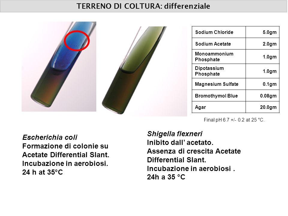 TERRENO DI COLTURA: differenziale Escherichia coli Formazione di colonie su Acetate Differential Slant. Incubazione in aerobiosi. 24 h at 35°C Shigell