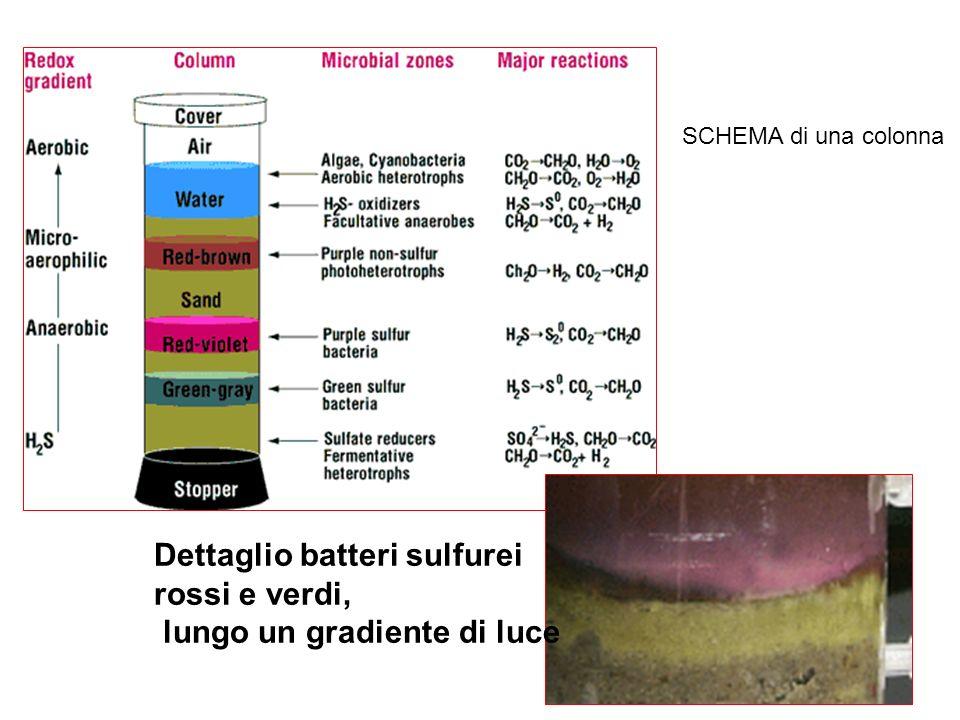 SCHEMA di una colonna Dettaglio batteri sulfurei rossi e verdi, lungo un gradiente di luce