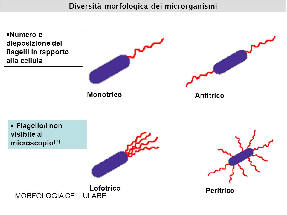 MEZZI (TERRENI) DI COLTURA The Staphylococcus aureus ferments mannitol and turns the medium yellow.