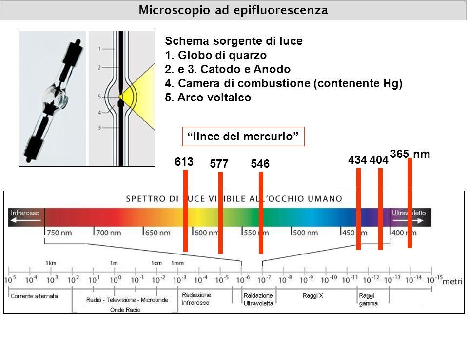 Schema sorgente di luce 1. Globo di quarzo 2. e 3. Catodo e Anodo 4. Camera di combustione (contenente Hg) 5. Arco voltaico 365 nm 404434 546577 613 l