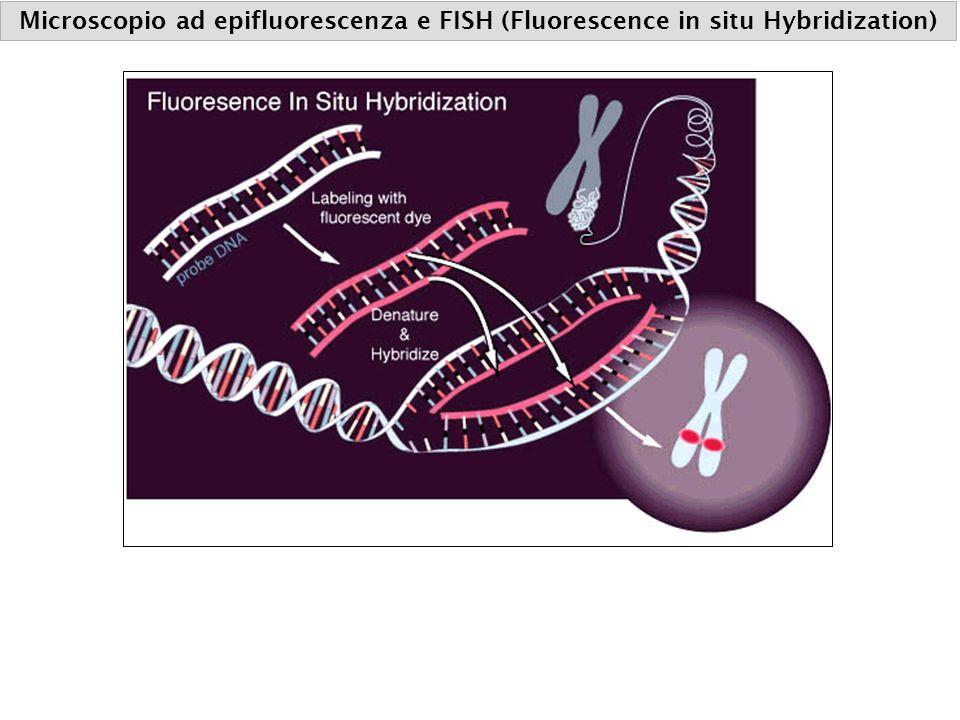 Microscopio ad epifluorescenza e FISH (Fluorescence in situ Hybridization)