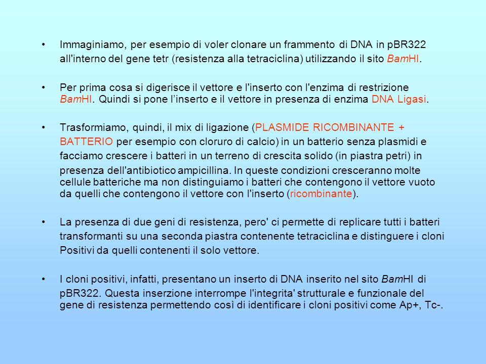 Immaginiamo, per esempio di voler clonare un frammento di DNA in pBR322 all'interno del gene tetr (resistenza alla tetraciclina) utilizzando il sito B