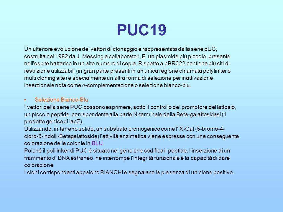 PUC19 Un ulteriore evoluzione dei vettori di clonaggio é rappresentata dalla serie pUC, costruita nel 1982 da J. Messing e collaboratori. E' un plasmi