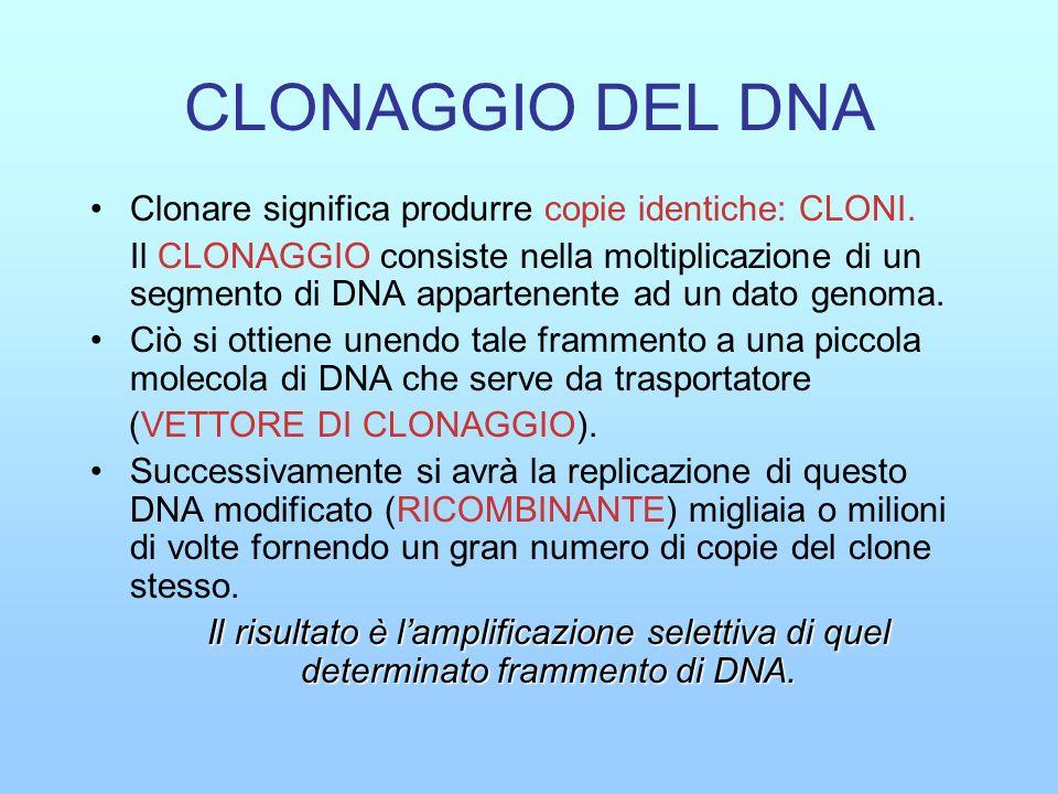 Il clonaggio utilizza diverse metodologie: 1- Un metodo per tagliare il DNA in punti precisi: le ENDONUCLEASI DI RESTRIZIONE 2- Un metodo per unire covalentemente due frammenti di DNA: DNA LIGASI 3- Una piccola molecola di DNA capace di autoreplicarsi: VETTORE DI CLONAGGIO (plasmidi, cosmidi, fagi, BAC, YAC ecc).