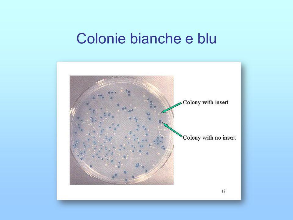 Colonie bianche e blu