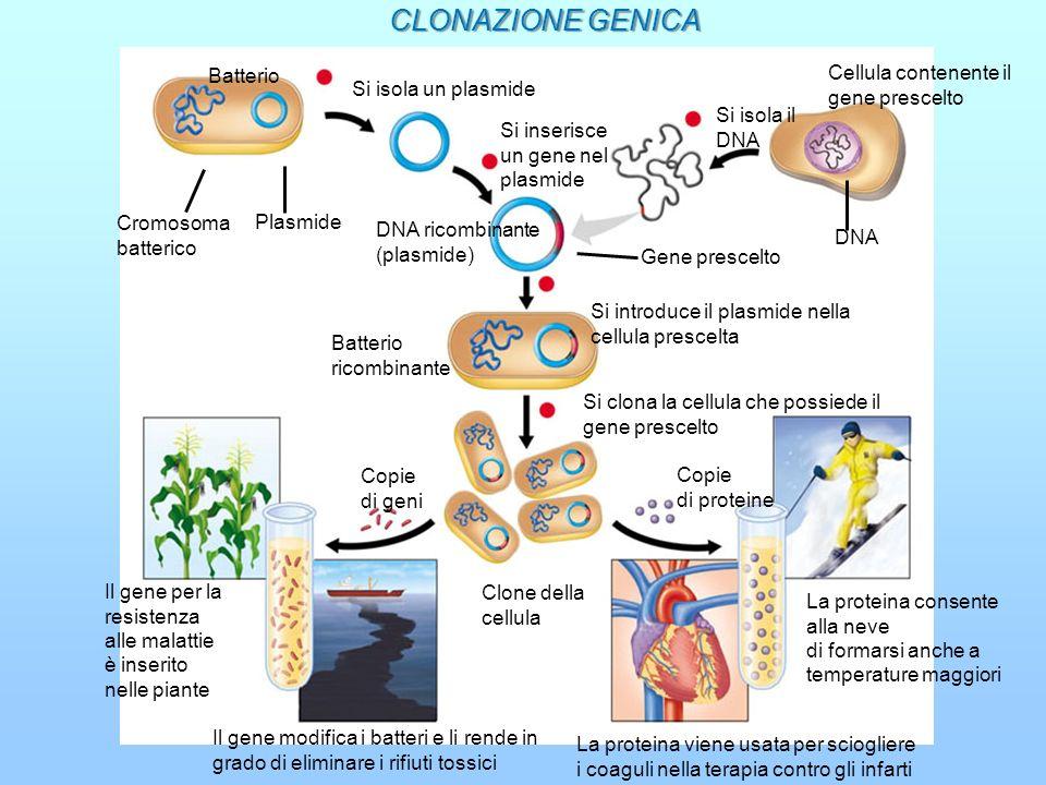 Batterio Cromosoma batterico Plasmide 2 Cellula contenente il gene prescelto DNA Gene prescelto DNA ricombinante (plasmide) Batterio ricombinante Copi