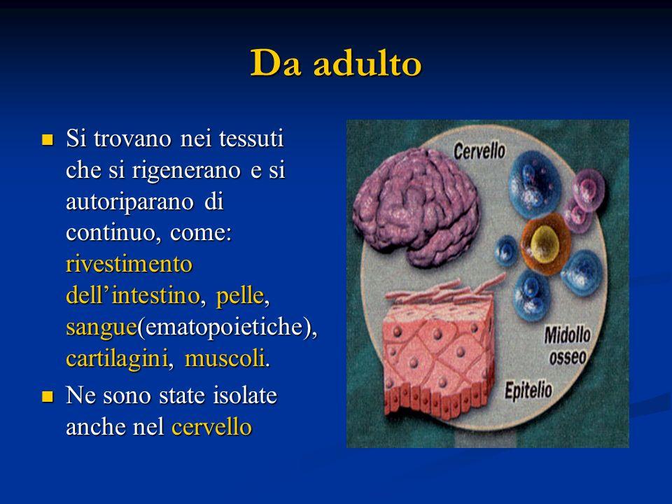 Da adulto Si trovano nei tessuti che si rigenerano e si autoriparano di continuo, come: rivestimento dellintestino, pelle, sangue(ematopoietiche), car