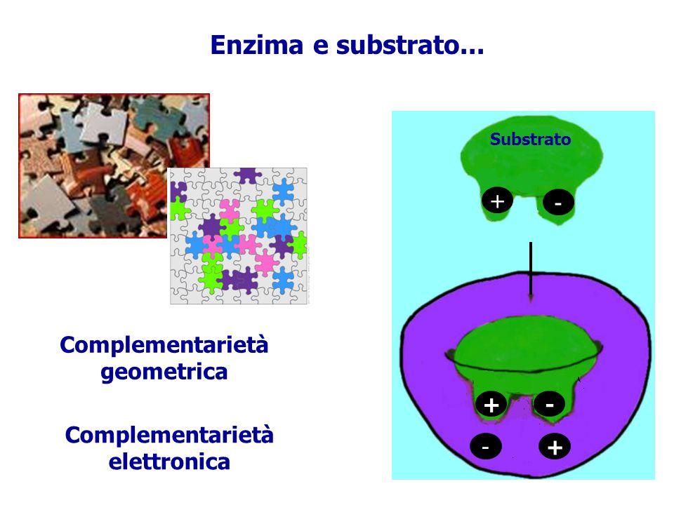 Enzima e substrato... Complementarietà geometrica Complementarietà elettronica - + Substrato -+ -+